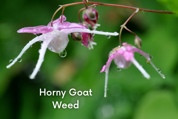 horny goat weed for male sexual health
